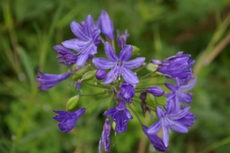 Agapanthus 'Kingston Blue'