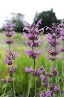 Agastache 'Licorice Candy'