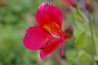 Alstroemeria 'Red Rose'