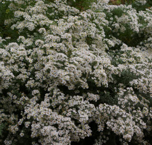 Aster ericoides 'First Snow'
