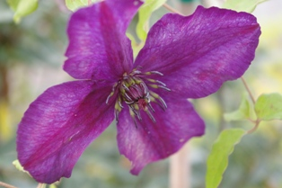 Clematis 'Dark Eyes' (William Staver, 2001)