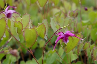 Epimedium grandiflorum 'First Kiss'