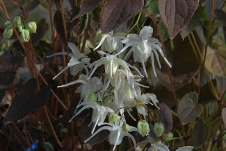 Epimedium youngianum 'Star Cluster' (x)