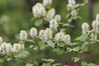 Fothergilla 'Mount Airy'