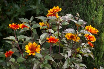 Heliopsis helianthoides 'Bleeding Hearts'