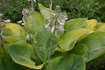 Hosta 'Golden Shimmer'