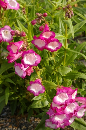 Penstemon 'Cerise Kissed'