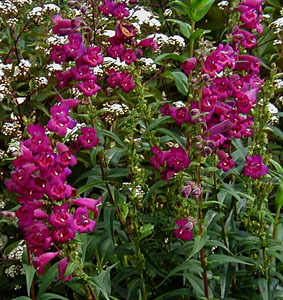 Penstemon 'Enor'