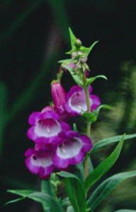 Penstemon 'Purple Passion'