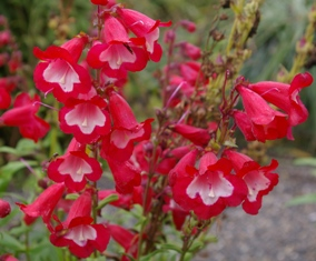Penstemon 'Red Hot Kissed'