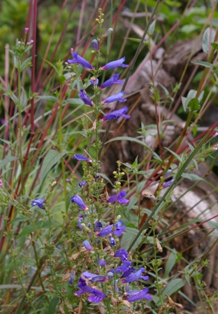 Penstemon heterophyllus 'Blue Springs'