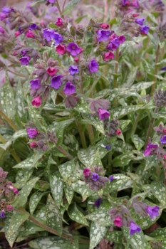 Pulmonaria 'Early Bird'