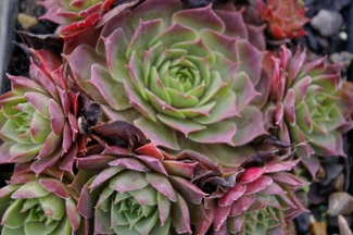 Sempervivum 'El Toro'
