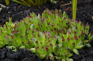 Sempervivum tectorum 'Oddity'