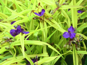 Tradescantia 'Blue & Gold'