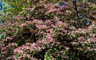 Viburnum plicatum f tomentosum pink beauty mightylinksfo