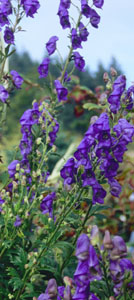 Aconitum 'Tall Blue'