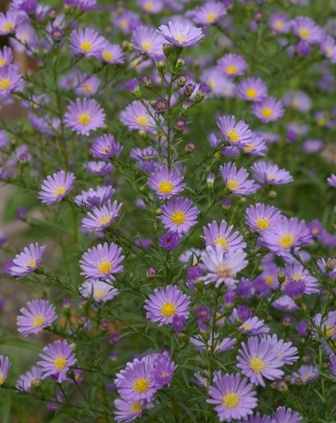 Aster 'Blue Butterfly'