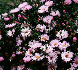 Aster 'Chatterbox'
