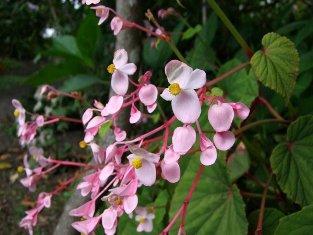 http://www.joycreek.com/images/begonia-grandis-ssp-evansiana-362-001.jpg