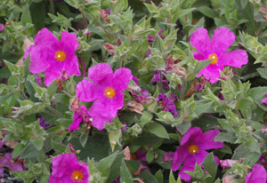 Cistus purpureus 'Brilliancy'