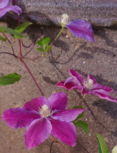 Clematis 'Beth Currie'