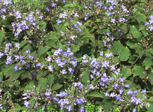 Clematis heracleifolia 'Little Blue'