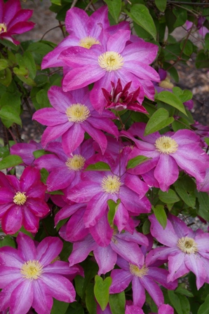 Clematis 'Kakio' (PINK CHAMPAGNE)