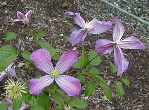 Clematis 'Mrs. T. Lundell'