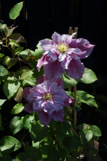 Clematis PATRICIA ANN FRETWELL