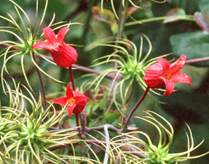 Clematis texensis (Tarpley River Form)