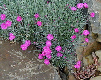 Dianthus 'Feuerhexe' ('Fire Witch')