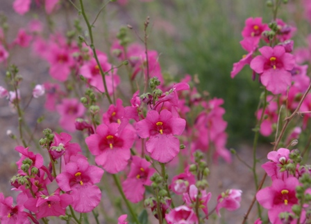 Diascia 'Ruby Fields'