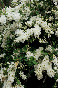 Exochorda macrantha) 'The Bride'
