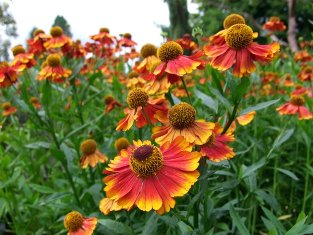 Helenium autumnale 'Rotgold'