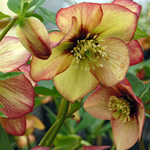 Helleborus hybridus Winter JewelsTM 'Apricot Blush'