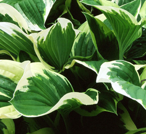 Hosta 'Bold Ribbons'