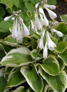 Hosta 'Diana Remembered'