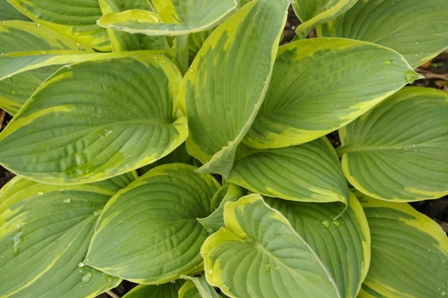 Hosta 'Mount Hope'