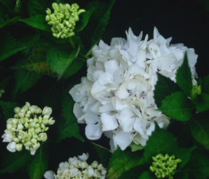 Hydrangea 'Soeur Therese'