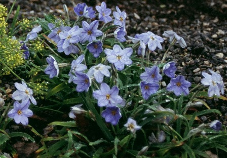 Ipheion uniflorum