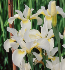 Iris siberica 'Butter and Sugar'
