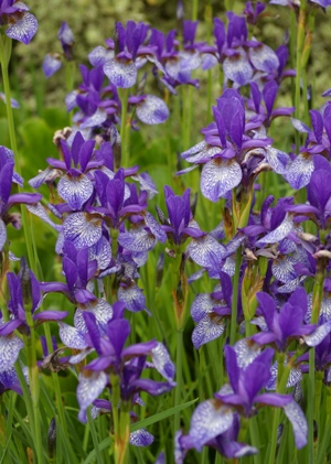Iris siberica 'Flight of Butterflies'