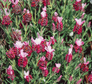 Lavandula 'Kew-Red'