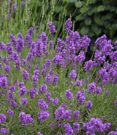 Lavandula 'Tucker's Early Purple'