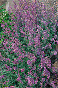 Nepeta 'Walker's Low'