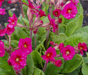 Primula 'Cowichan Cherry Pink'