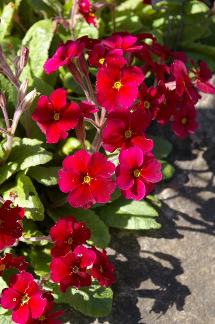 Primula 'Cowichan Red'
