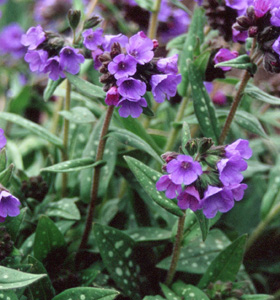 Pulmonaria 'Benediction'