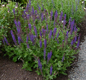 Salvia superba 'May Night'
